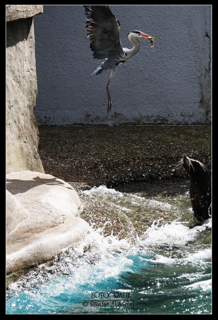 Graureiher klaut den Fisch :)