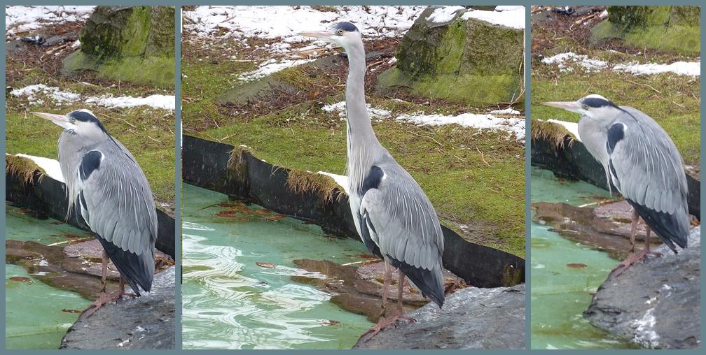 Graureiher, umgangssprachlich Fischreiher