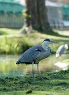 Graureiher unter Flamingos