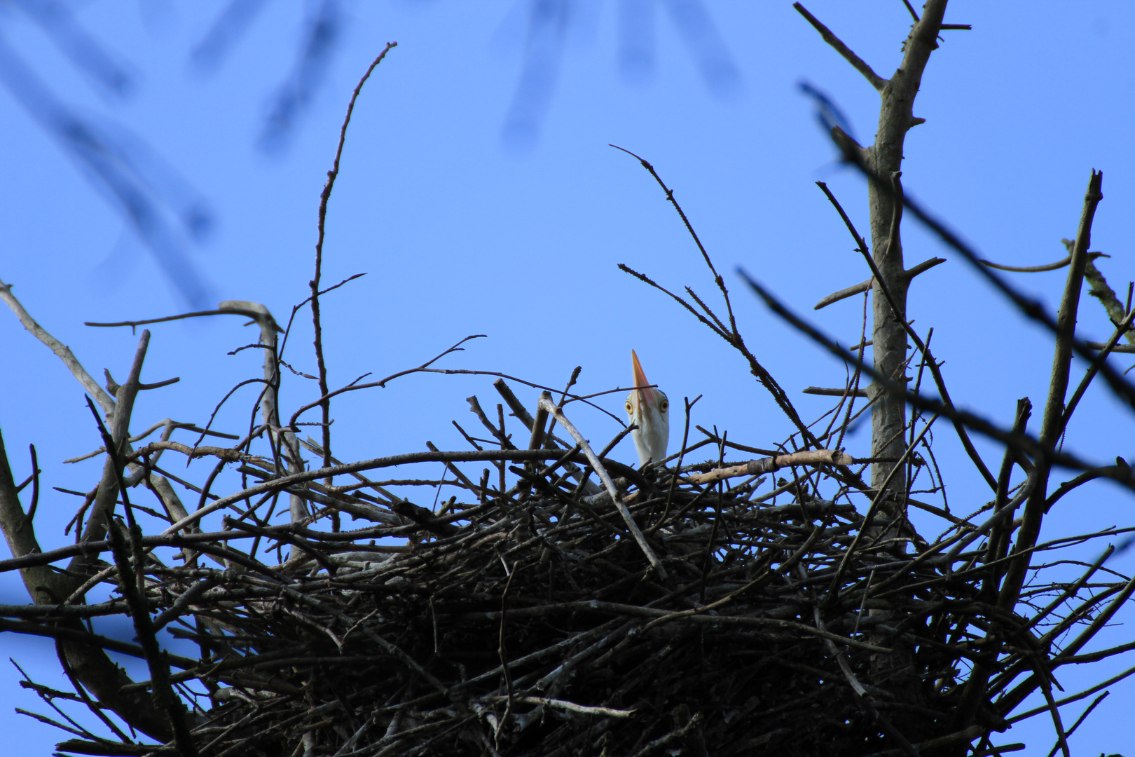 Graureiher....Junges im Nest