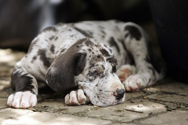 Grautiger pup