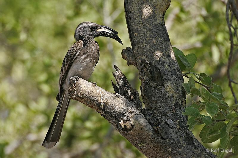 Grautoko - Grey Hornbill