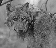 *Grauwolf*