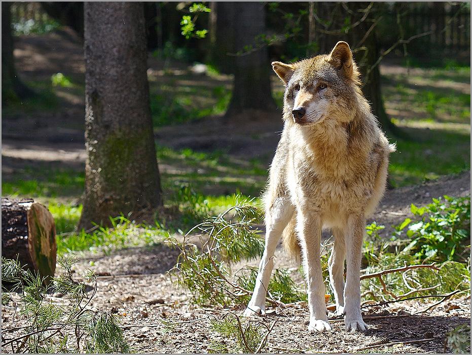 Grauwolf