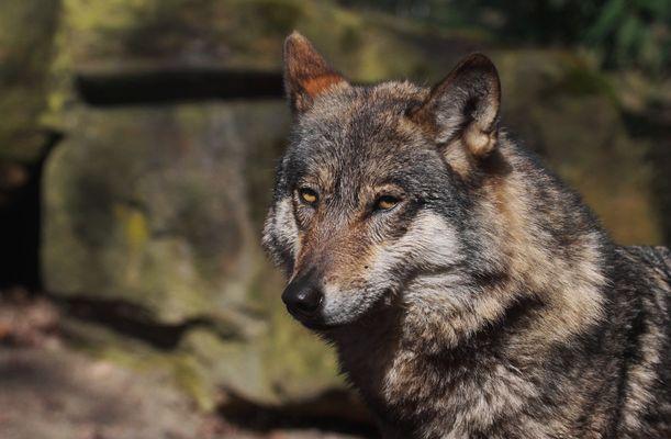 Grauwolf-Dame