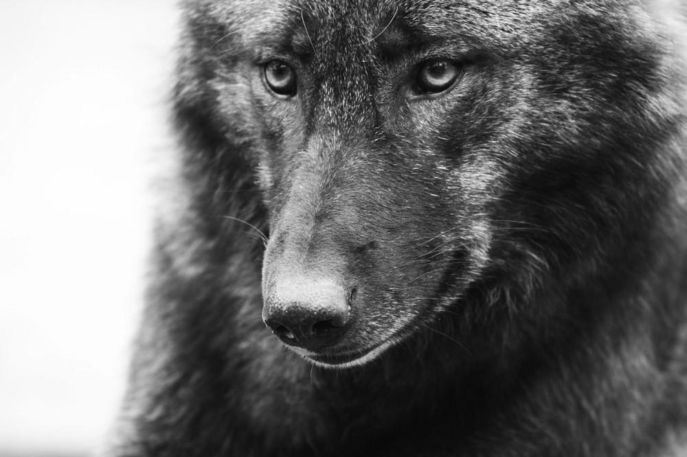 Grauwolf im Wildpark Lüneburger Heide