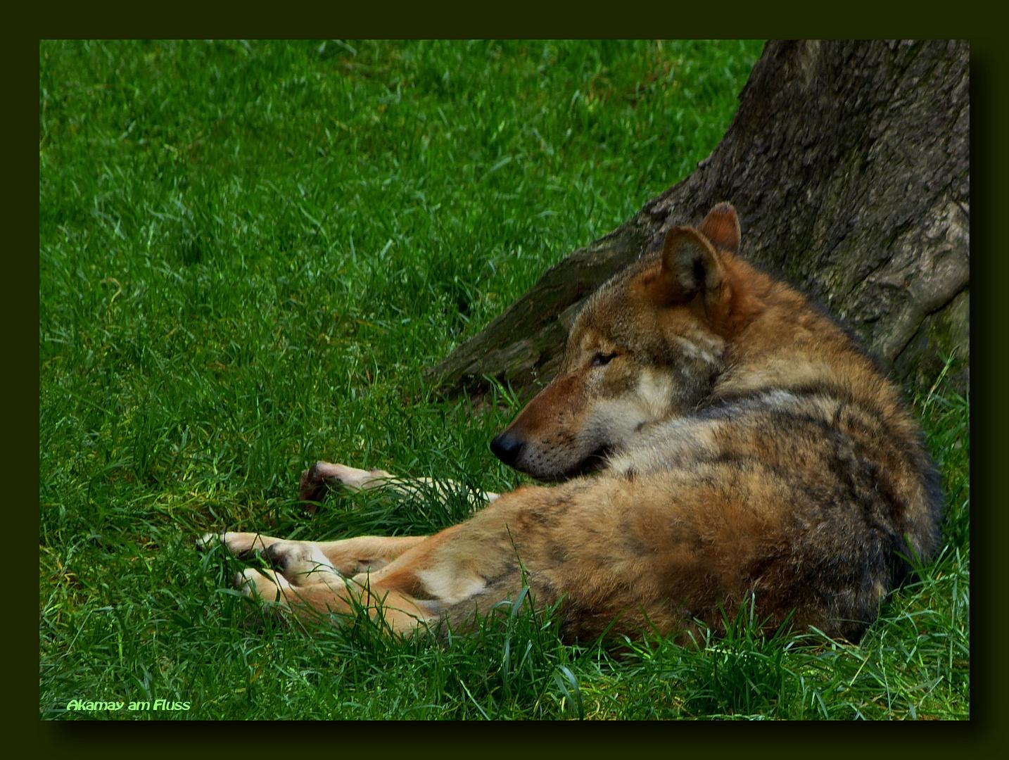 Grauwolf relaxt
