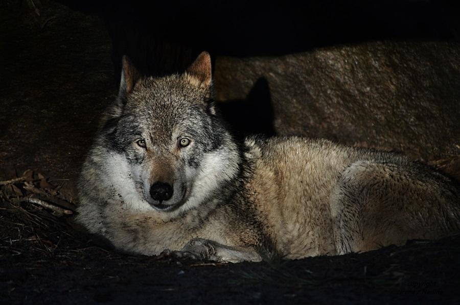Grauwolf RICO im Abendlicht !!!