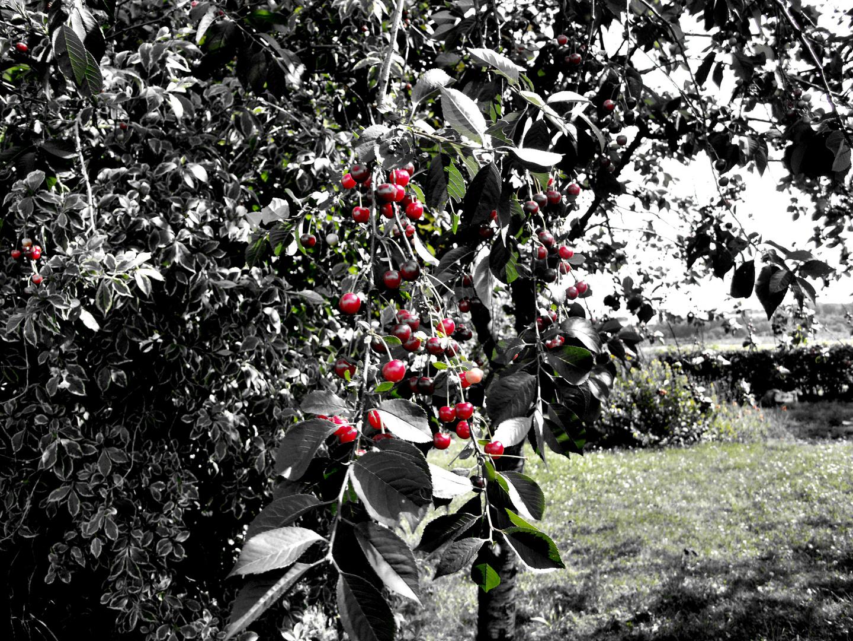 Gray Cherry