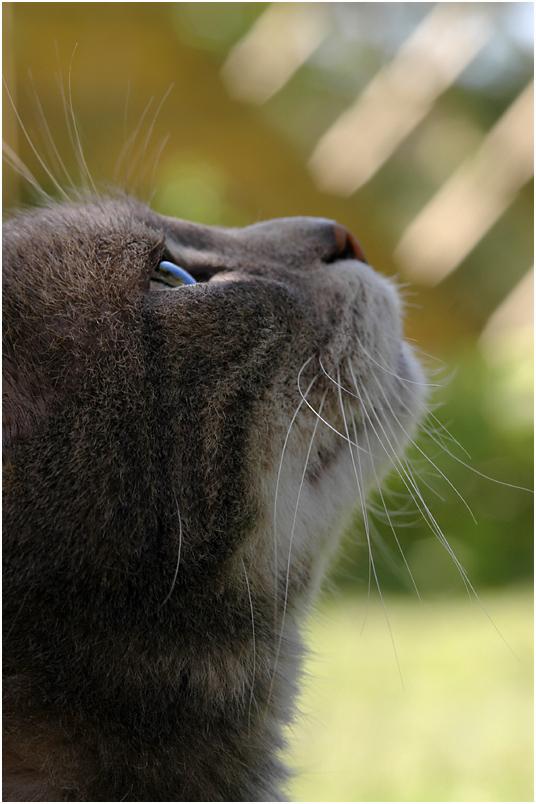 Gray Tiger .....