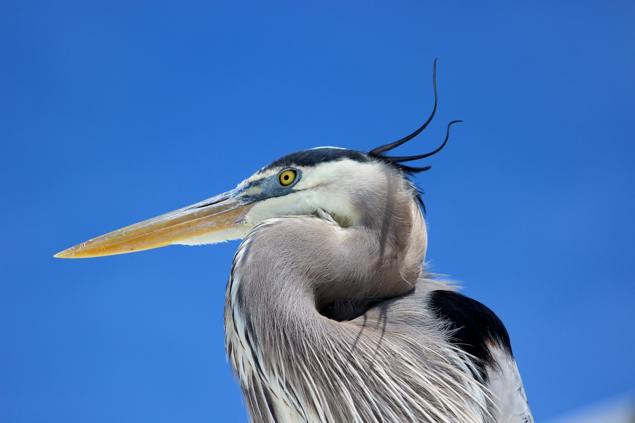 Great Blue Heron - Kanadareiher