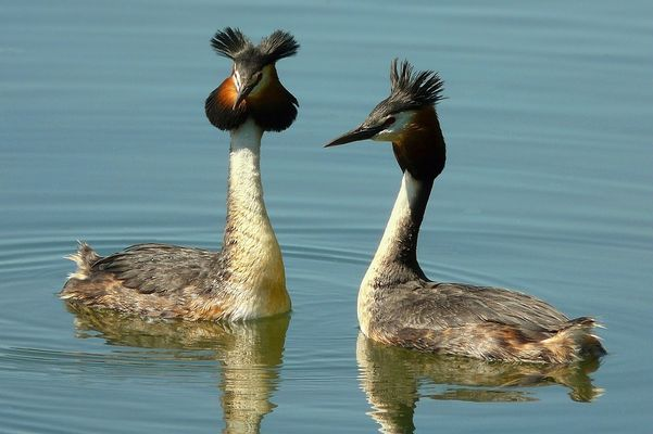 Great Crested Grebe : the mating dance