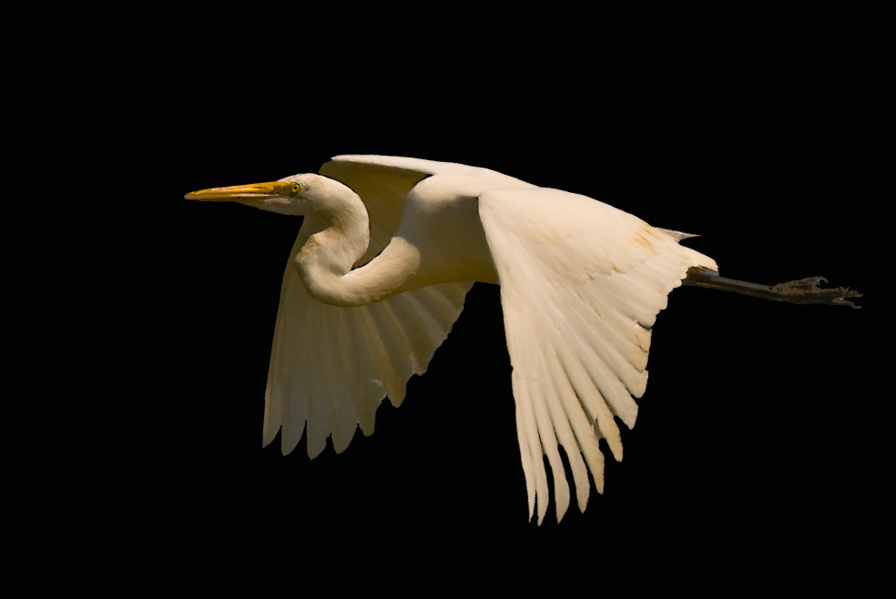 Great Egret #1
