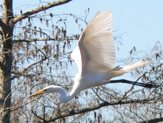 Great Egret In Flight Profile