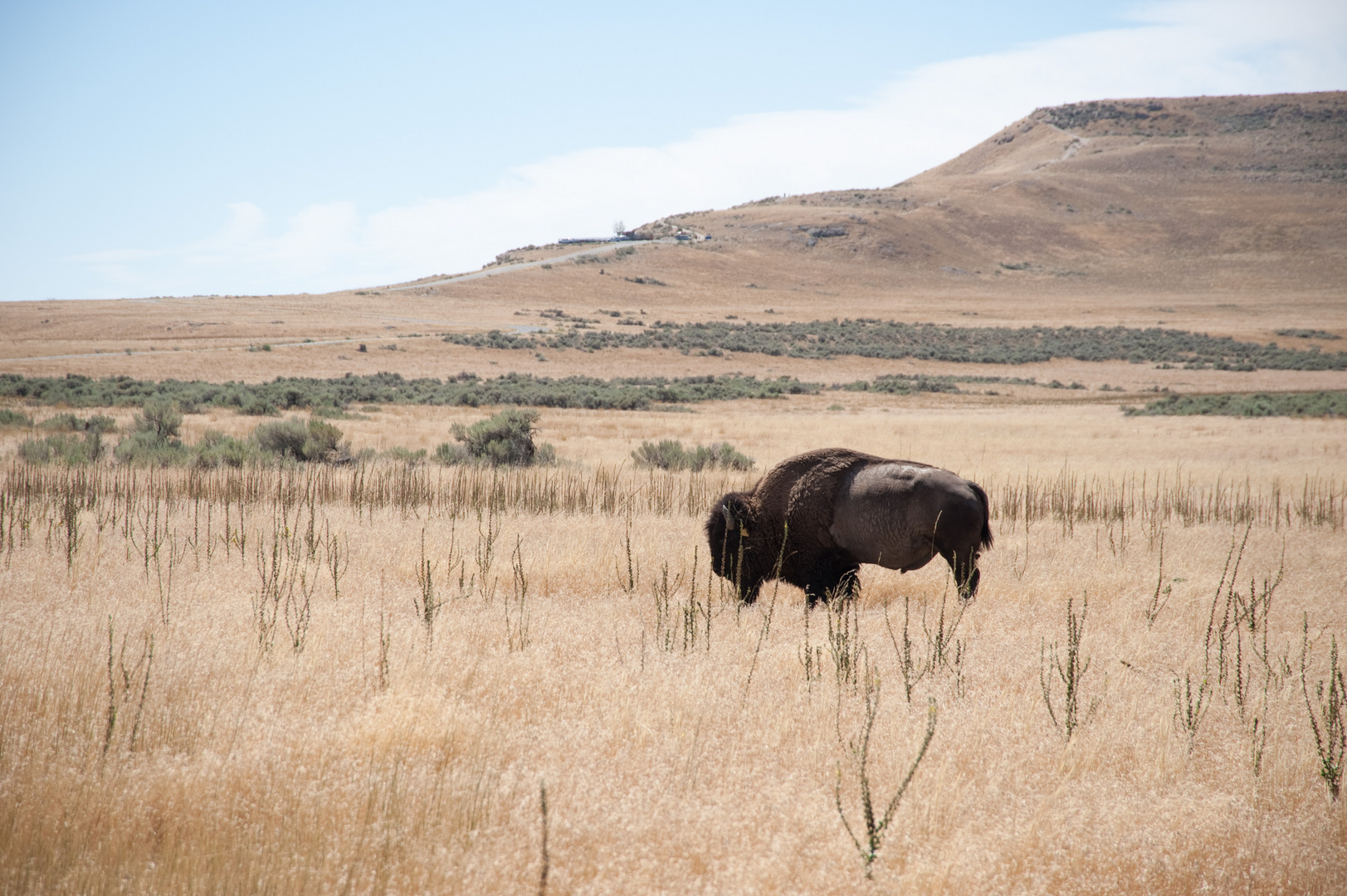 Great Salt Lake - Antelope Island State Park - Buffalo