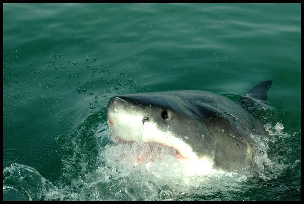 >Great White Shark<