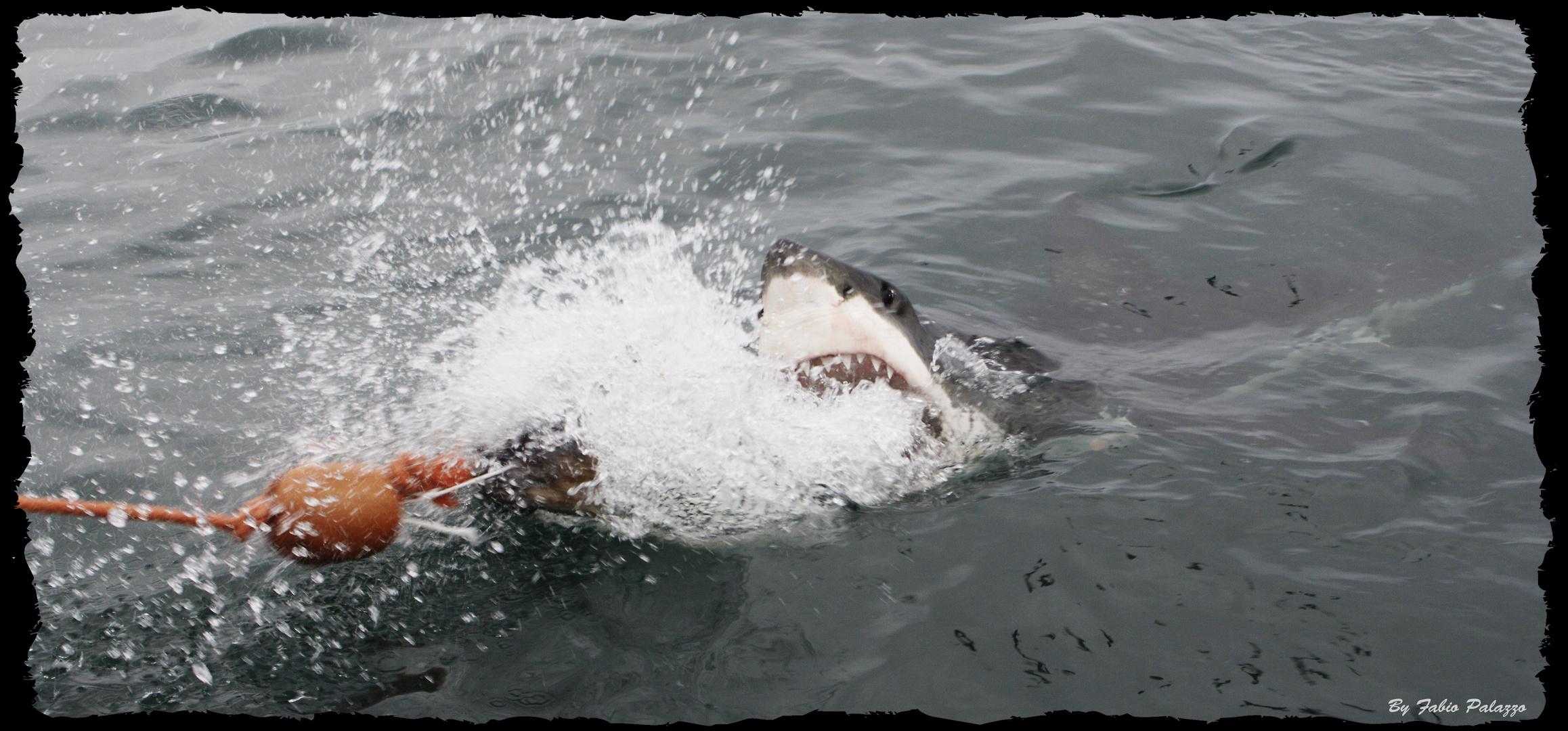 Great White Shark - Der grosse weisse Hai