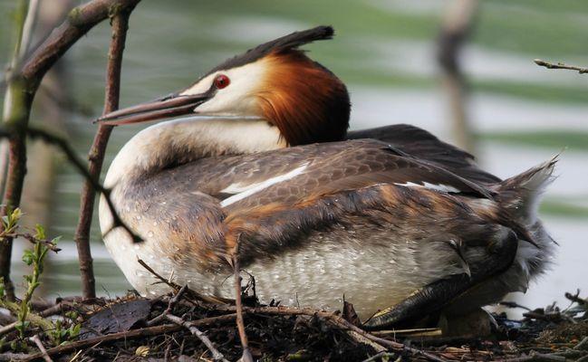 Grèbe huppée belgique dans un lac a strepy hainaut couvant son nid