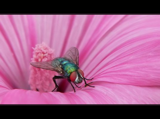 Green Bottle Fly with red eyes sitting on a pink blossom