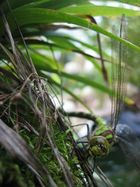 green drangonfly