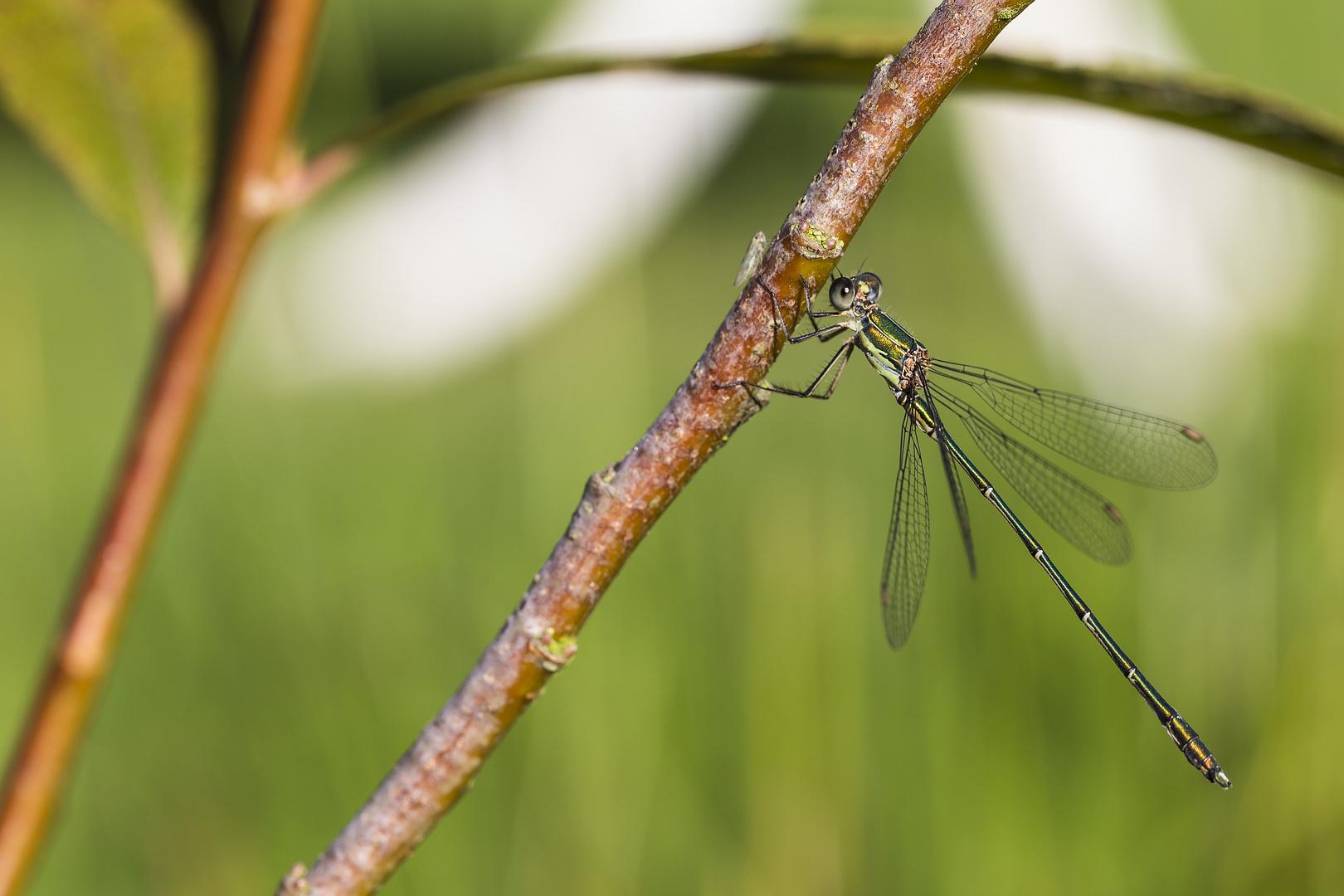 Green Firefly