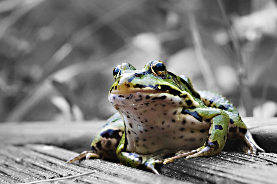 Green Frog - Teichfrosch