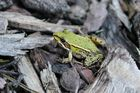 green froggo