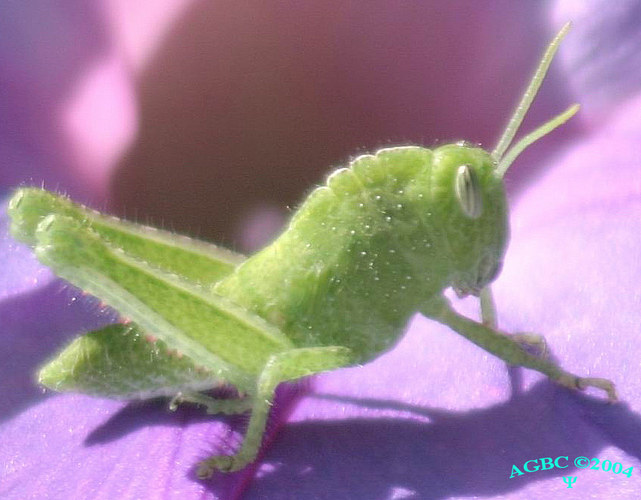 Green grasshopper on purple flower