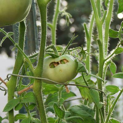 Green jack o'lantern