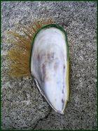 Green Lips Muschel Pank am Mt. Maunganui Beach