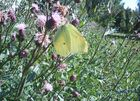 Green/ Yellow butterfly