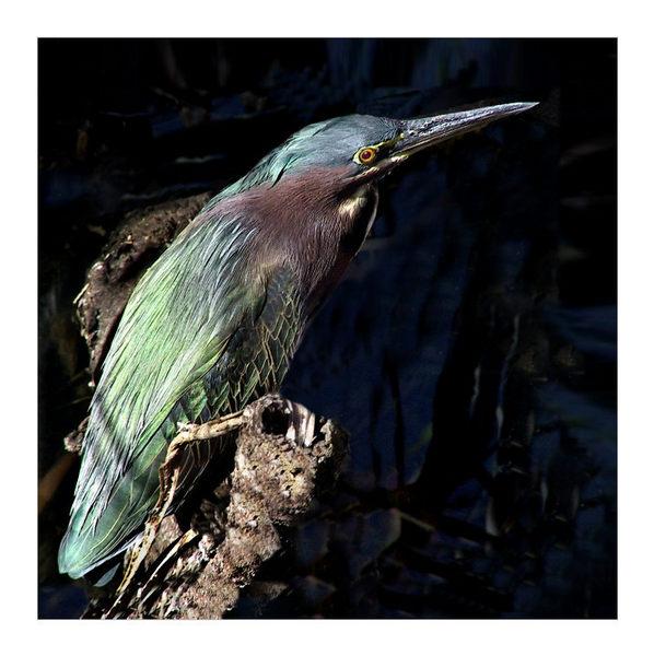 Greenback Heron II