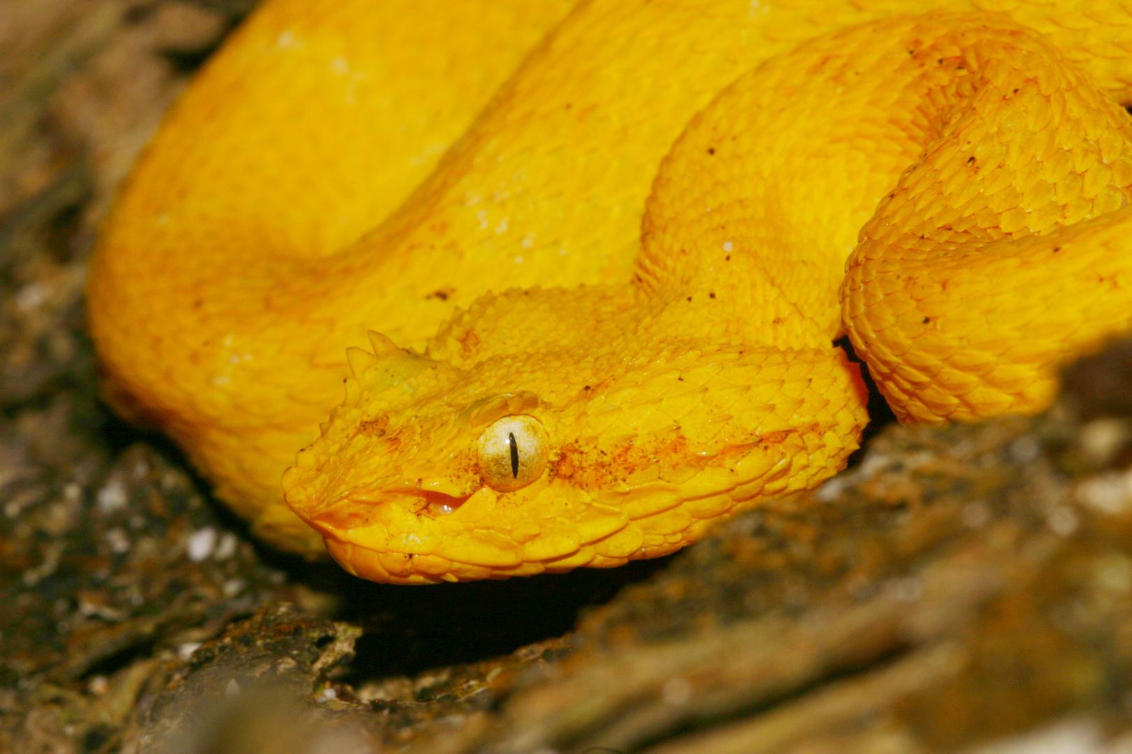 Greifschwanz Lanzenottern (Bothriechis schlegelii) lächeln immer