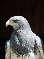 Greifvögel auf der Sababurg 2