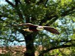Greifvögel auf der Sababurg 4