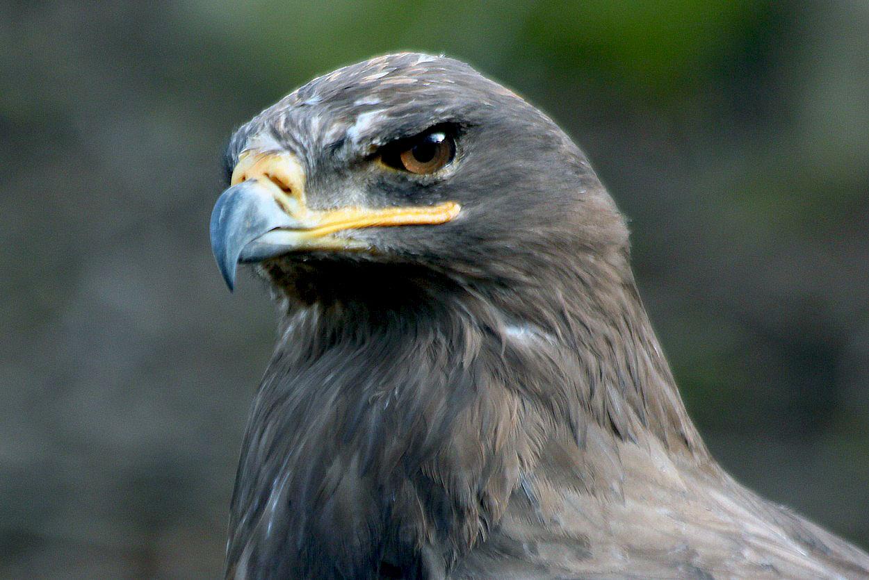 Greifvögel-Portrait