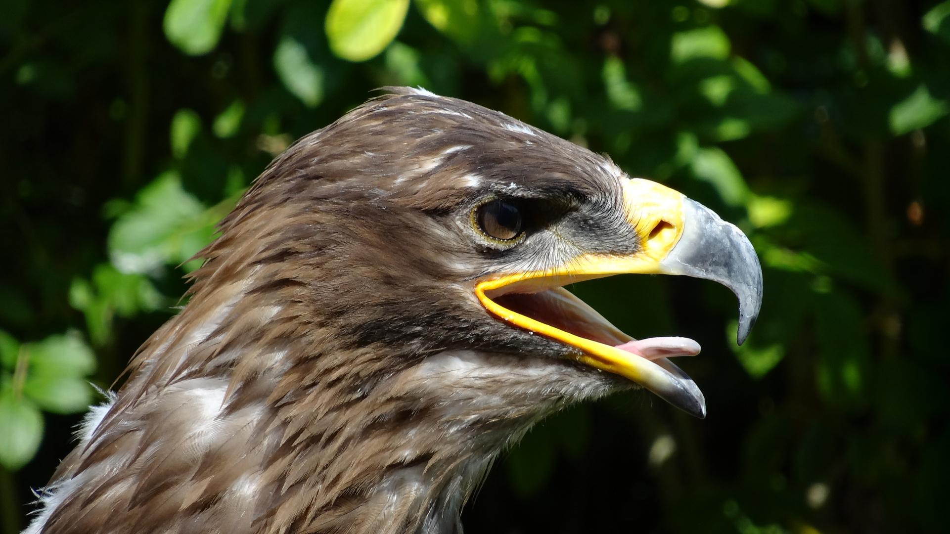 Greifvogel 4