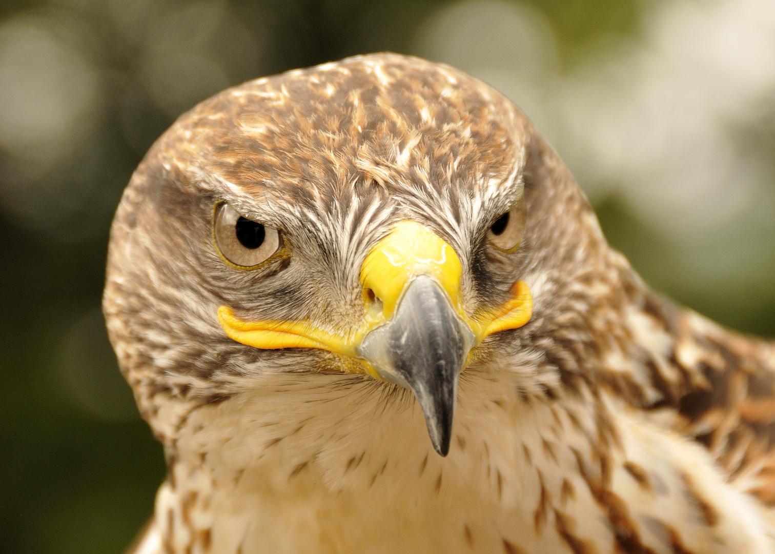 Greifvogel auf der LGS-Hemer