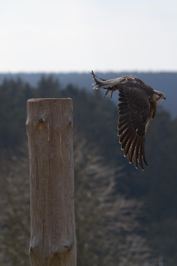 Greifvogel beim Start