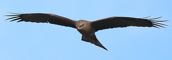 Greifvogel im Anflug