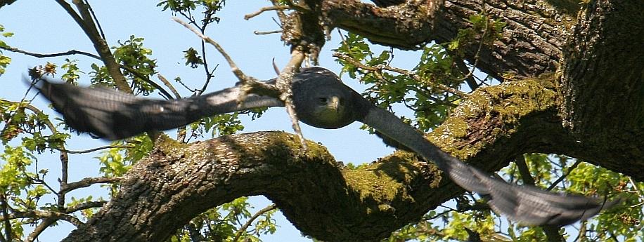 Greifvogel im Flug durch eine Eiche