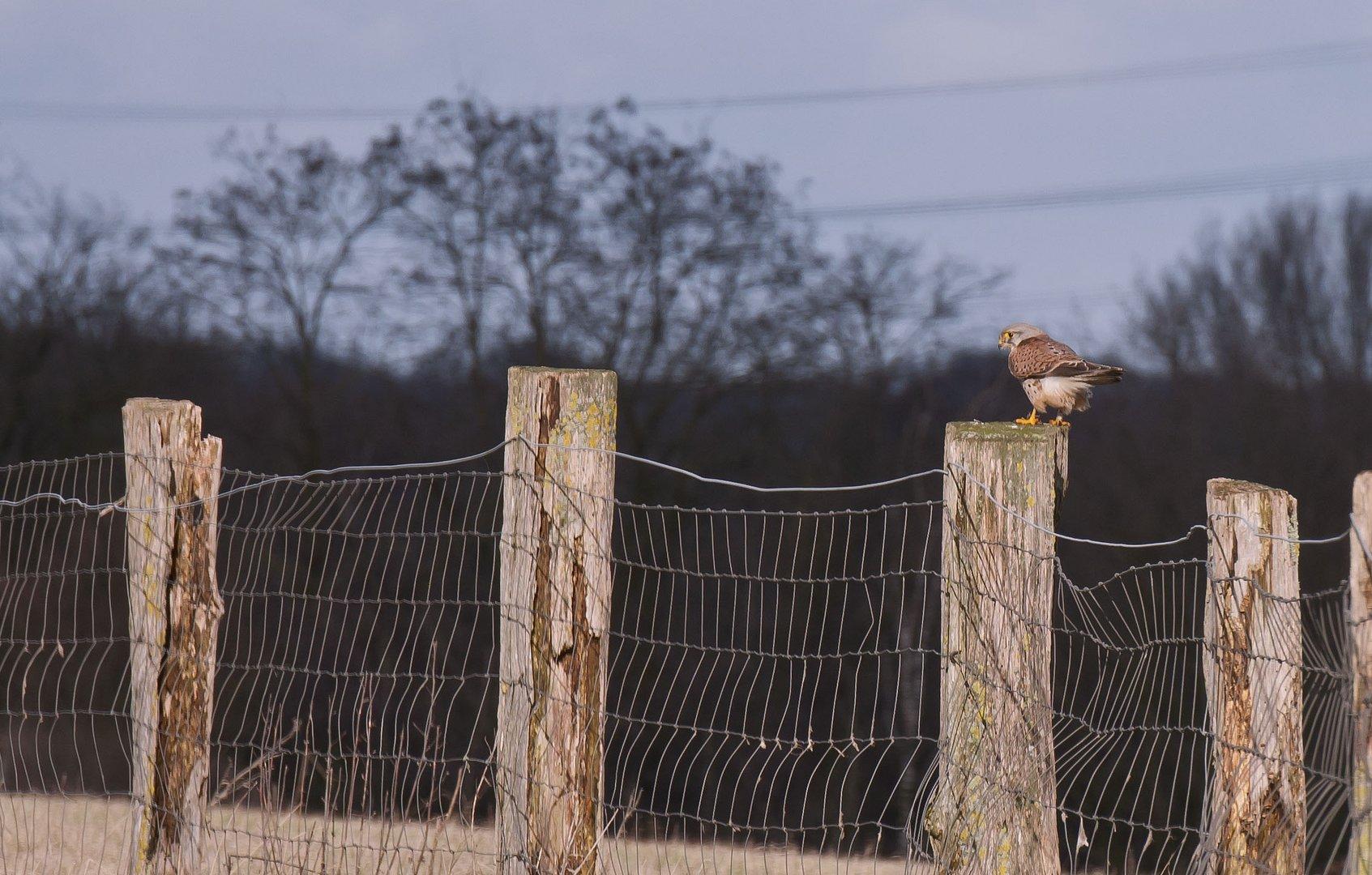 Greifvogel in den Rheinauen