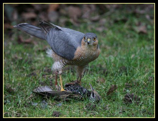 Greifvogel in unserem Garten