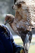 Greifvogel mit Pflegerin