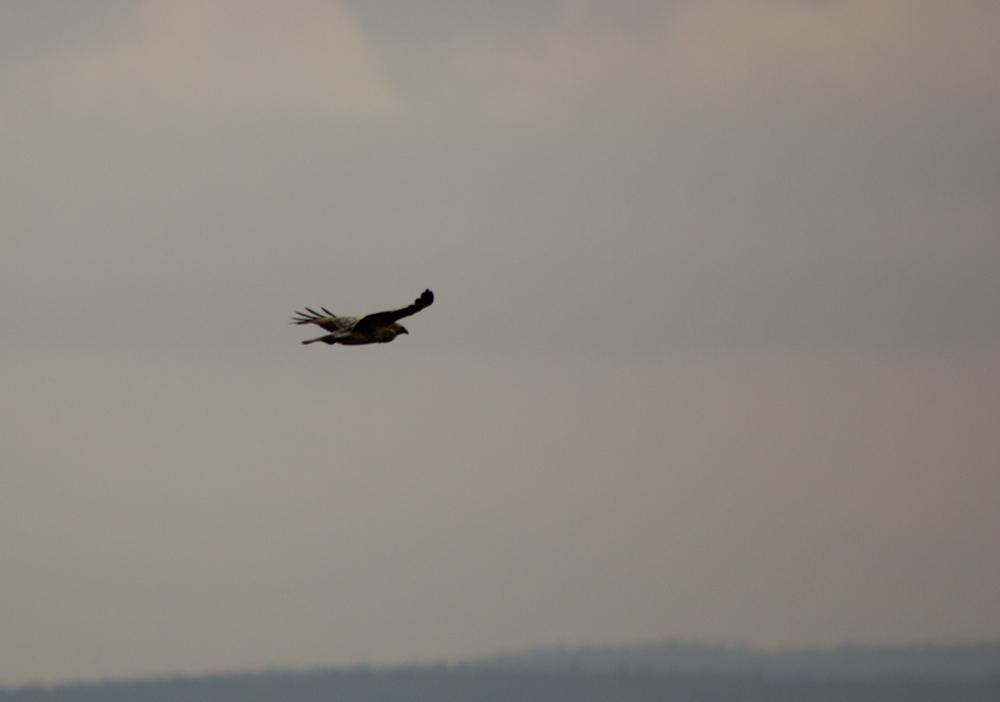 Greifvogel über Nordhessen
