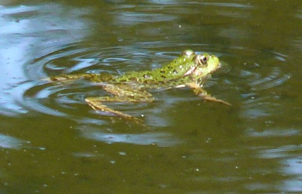 grenouille 1
