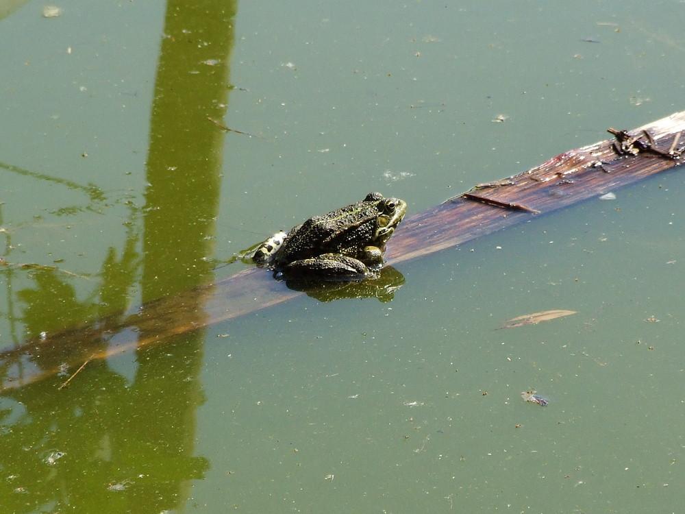grenouille: bain de soleil