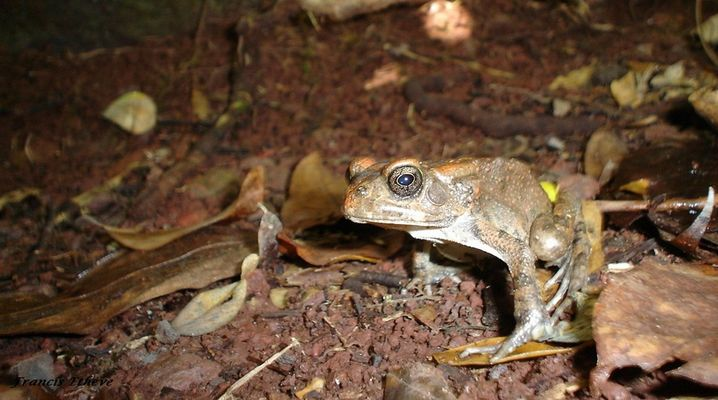 grenouille curieuse