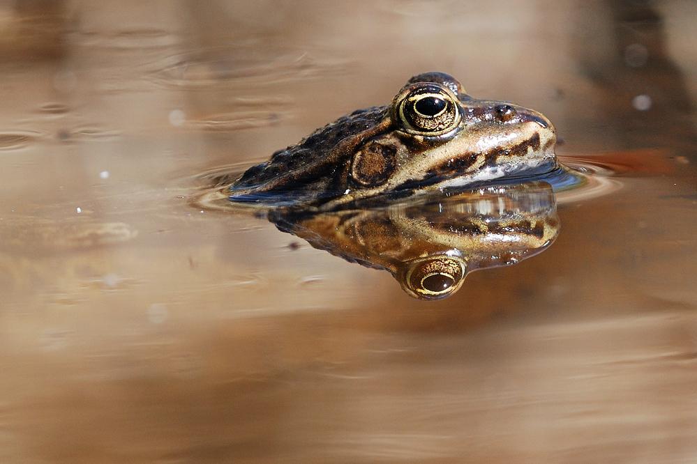 grenouille des marais