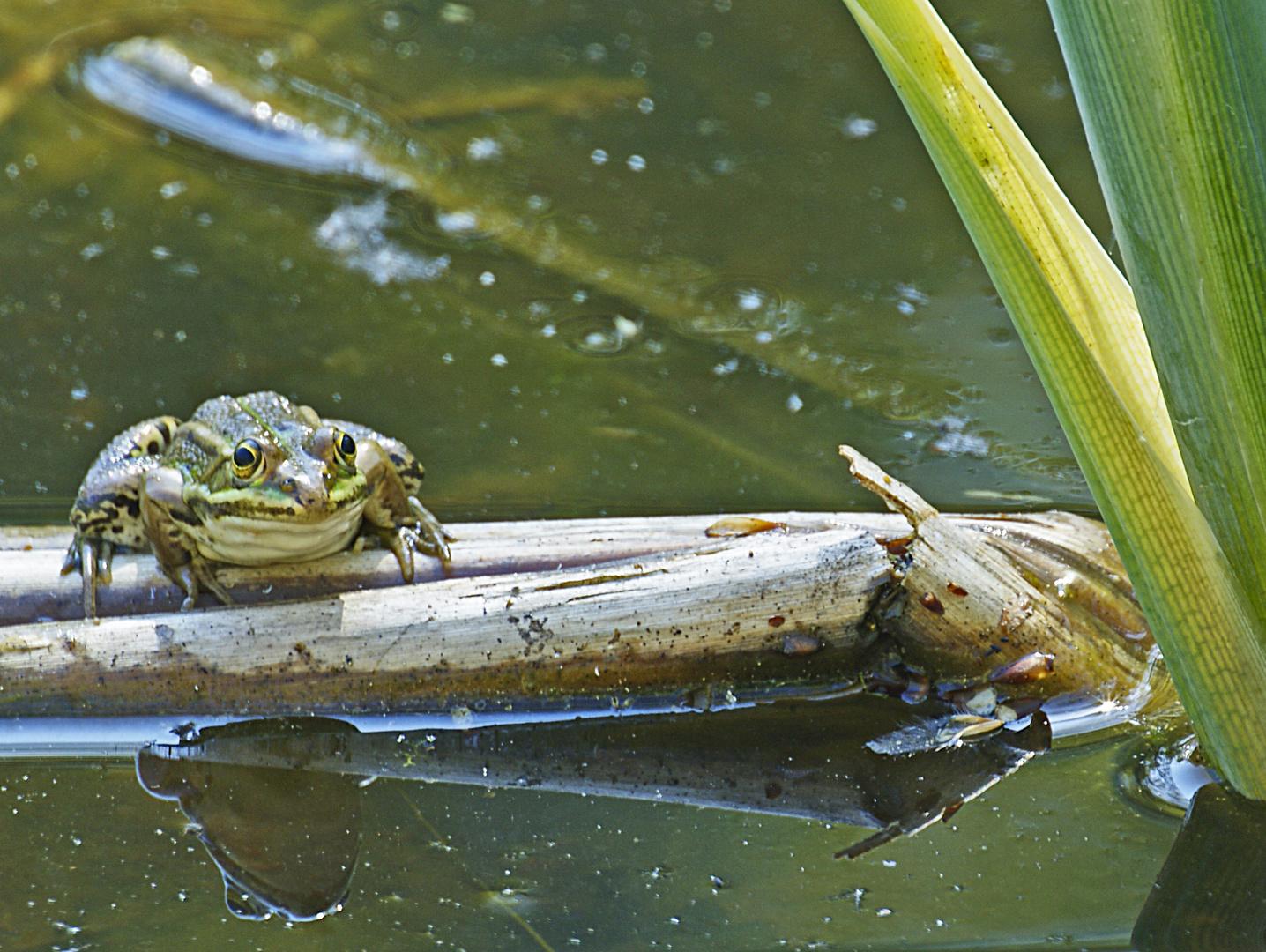 grenouille verte (Rana Kl esculenta)